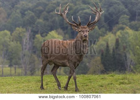 A large elk against a forest