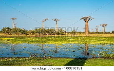 Baobab Trees With Lake Near Morondava