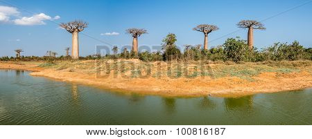 Panorama View At The Baobabs Trees Near Morondava