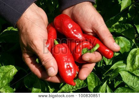 Pepper Production