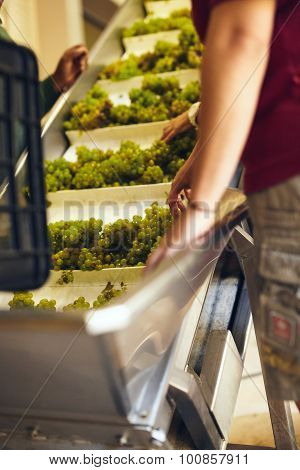 Hand Sorting Grapes On A Conveyor Belt At Winery