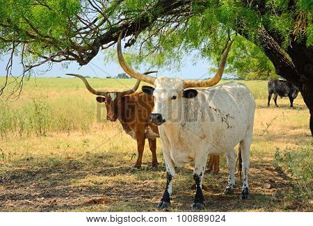 Longhorns In The Shade