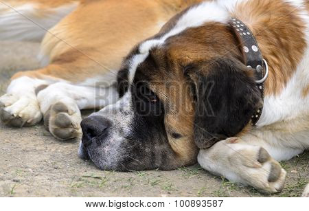 St. Bernard Lying On The Ground. Dog Show.
