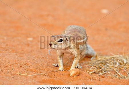Ground Squirrel (xerus Inaurus)