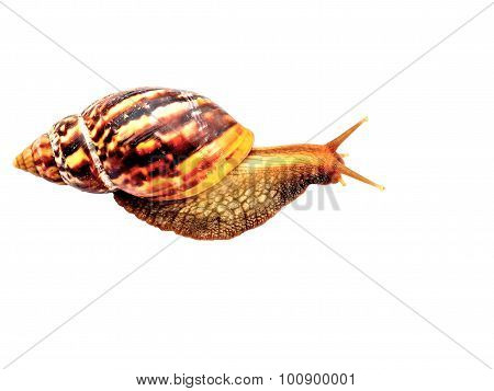 Snail Isolated On White