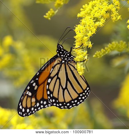Monarch Butterfly Nectaring On Canada Goldenrod