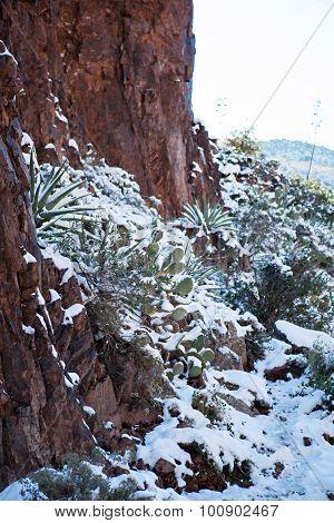 Snowy Cactus - Rare Arizona Storm