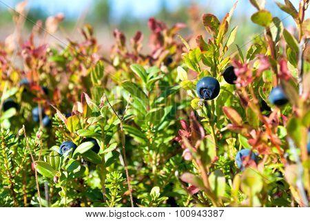 Vaccinium Uliginosum (bog Bilberry Or Northen Bilberry)