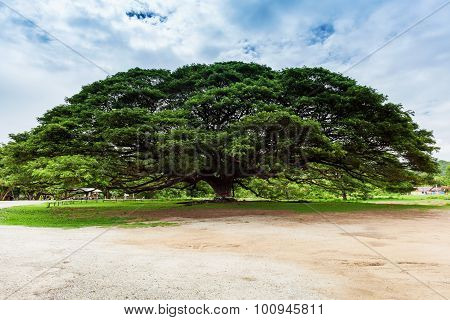 Giant Tree; Thailand