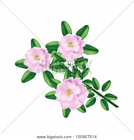 Pink Damask Rose On A White Background