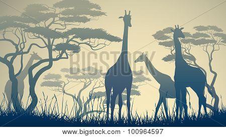 Horizontal Illustration Of Wild Giraffes In African Savanna.