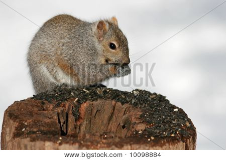 A gray squirrel perched on a stump eating bird seed.