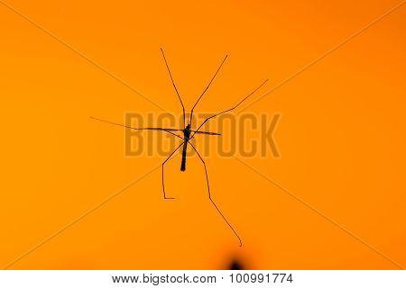 Large Crane Fly On Orange Background