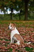 Parson Jack Russell Terrier sitting in a park among fallen Autumn leaves poster