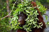 The orangutan uses a tree branch as an umbrella. Borneo. Indonesia. poster