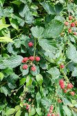 one bush with unriped blackberry sone they ar riped poster