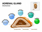 Adrenal gland hormone secretion. Adrenal glands sit atop the kidneys and are composed of an outer cortex and an inner medulla which produce different types of hormones. Human endocrine system poster