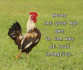 Never let your ego get in the way of your integrity - text with an image of a cocky rooster in green grass poster