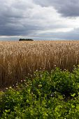 Atmospheric Barley field & wild flowers growing under a moody stormy sky with dark clouds & butterflies. Old countryside in Cotswolds late Summer/Autumn harvest time. poster
