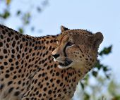 A Cheetah in the Kruger Park South Africa. poster