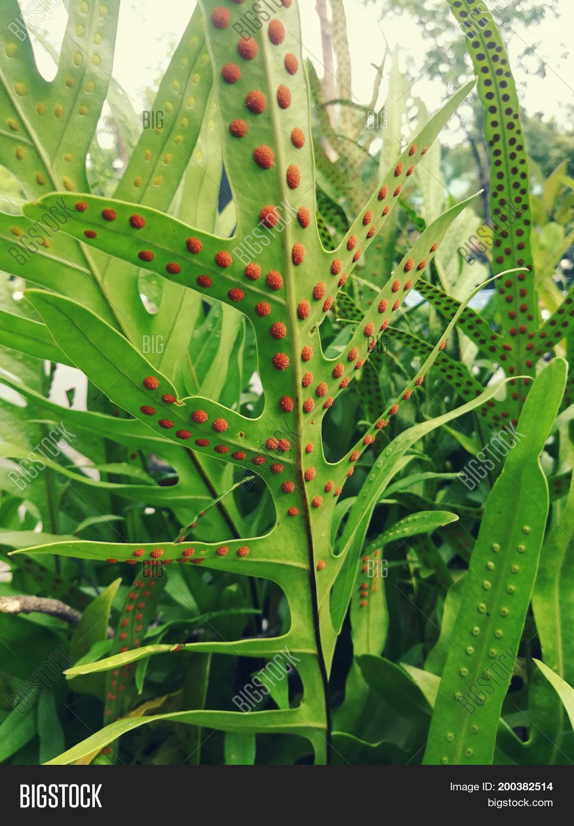 Are fern spores asexual