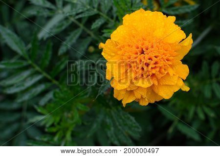 Flower Tagetes. Green leaves in the background .