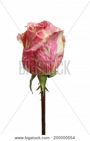 Pink with yellow marble rose on white background