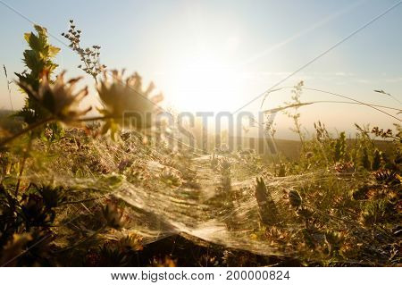 Cobwebs on the grass against the setting sun