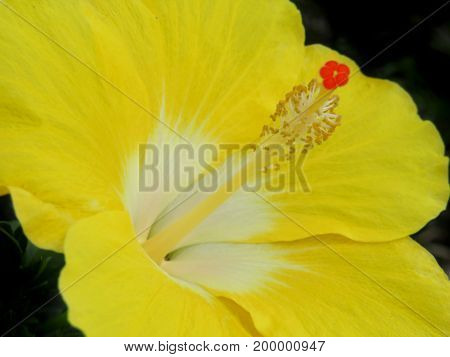 Hibiscus flower a common tropical flower in full bloom