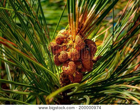 A closeup of the early formation of the seed cone on a White Bark Pine (Pinus Albicaulis Engelm)