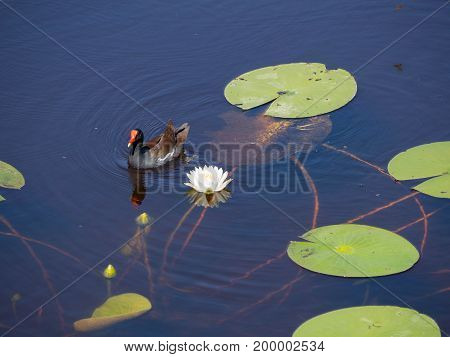 Common Moorhen floating in the lily pads at Freedom Park in Naples Florida. Viewed from an observation deck.