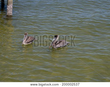 Two pelicans floating along near the pier on Pine Island near Fort Myers, Florida