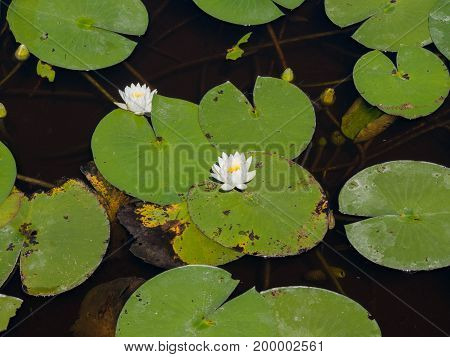Water lilies floating on the lily pads at Freedom Park in Naples Florida. Viewed from an observation deck.