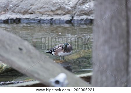 American wigeon duck (Anas americana) grooming in a shallow pond