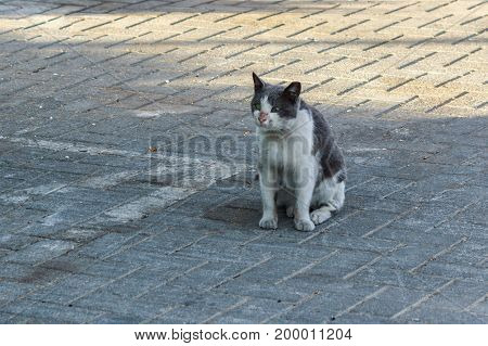 White And Gray Cat Sitting On The Sidewalk