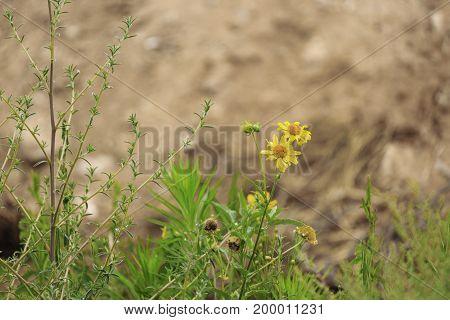 Two Last Yellow Chrysanthemum Coronarium