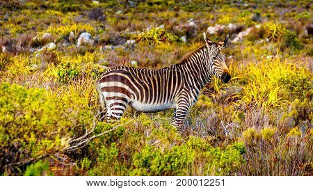 Grazing Zebras in Cape Point Nature Reserve on the Cape Peninsula in South Africa