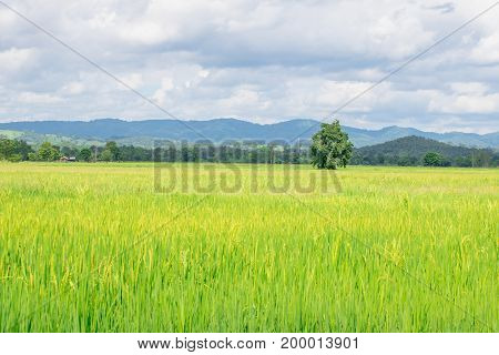The tree is surrounded by green and yellow rice fields with mountain front and blue sky.