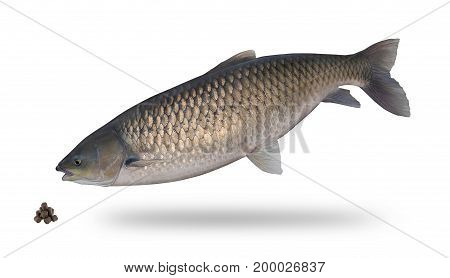 Big amur isolated on white. Fish trophy