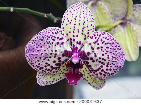 Orchid flower in tropical garden close up.Phalaenopsis Orchid flower.Floral background.Selective focus.