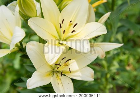 White Lily Flowers On Green Summer Background, Tenderness And Fragrance