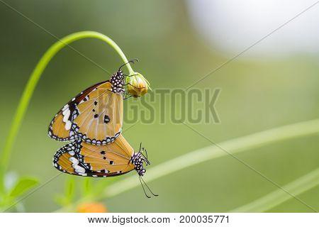 Butterflies mating On the flower stalks beautiful