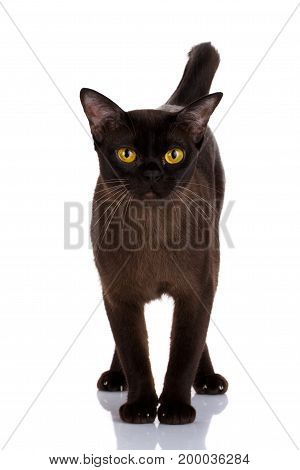 big cat, beautiful cat, purebred cat, fluffy cat, proud cat, black cat - portrait black cat with yellow eyes on a white background