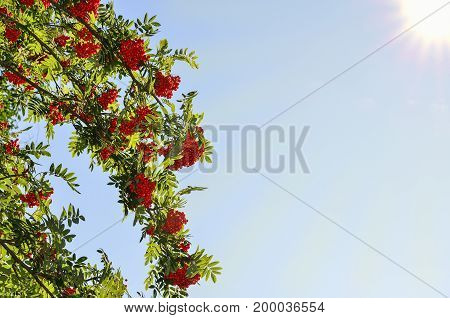 Branches of the rowan tree with red ripe berries and green leaves on a blue sunny sky with sunbeams background