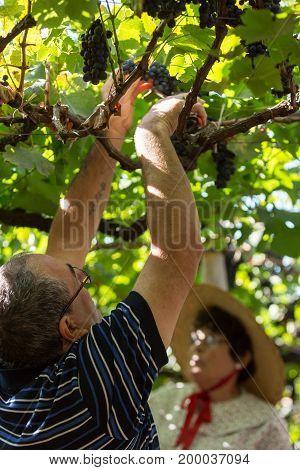 ESTREITO DE CAMARA DE LOBOS PORTUGAL - SEPTEMBER 10 2016: People harvesting grapes in the vineyard of the Madeira Wine Company at Madeira Wine Festival in Estreito de Camara de Lobos Madeira Portugal. The Madeira Wine Festival honors the grape harvest wit