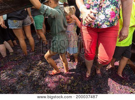 ESTREITO DE CAMARA DE LOBOS PORTUGAL - SEPTEMBER 10 2016: Grapes are crushed in the traditional way during the Madeira Wine Festival in in Estreito de Camara de Lobos Madeira Portugal.