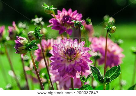 chrysanthemum variety miss delilah dahlia, bright lilac, purple, full bloom, several buds and flowers, lit by the sun in the garden, nature, natural, background the green grass is blurred,