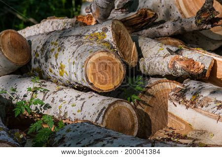 Sawn trunk of a tree in a forest countryside