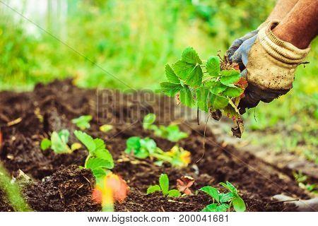 Harvesting Leaf of Leaf on Hands in Her Garden