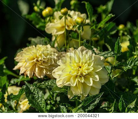 chrysanthemum variety korall pale yellow, three flowers in full bloom in a large bush lit by the sun, several buds, terry, summer period,